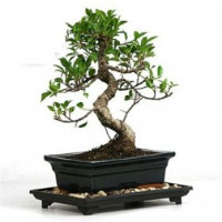 Flaberry: Starting at ₹ 399 off Lucky Bamboo, Cactus, Stressbuster, Grass Dolls, Bonsai, Tissue Cultured & More PLANTS Orders